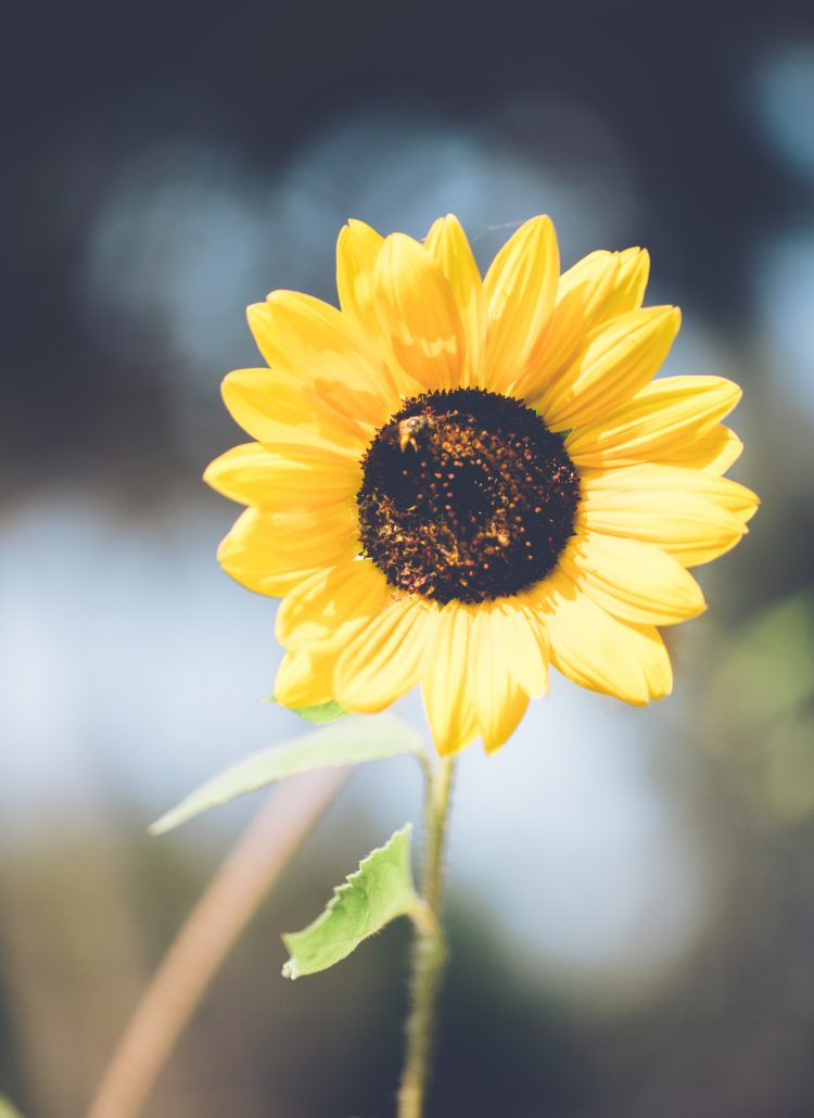 image of sunflower for post about how to raise your vibration
